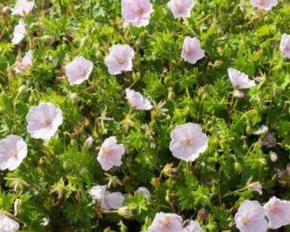 geranium-sanguineum-apfelblute-piros-golyaorr