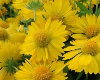 Gaillardia-aristata-mesa-yellow-kokardavirag