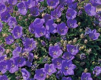 campanula-carpatica-pearl-blue-harangvirag