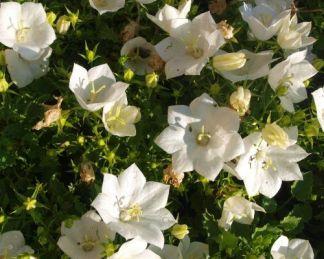 campanula-carpatica-pearl-white-harangvirag