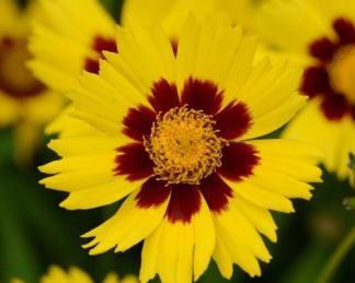 coreopsis-grandiflora-sunkiss-menyecskeszem