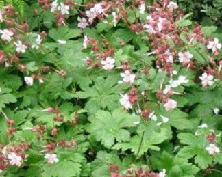 geranium-macrorrhizum-spessart-golyaorr
