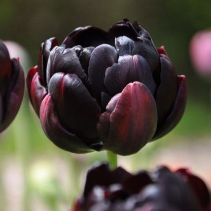 tulipa-black-hero