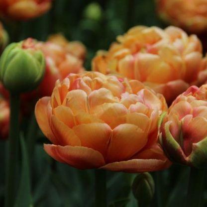tulipa-copper-image-teltviragu-tulipan