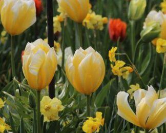 tulipa-sweetheart-fosteriana-tulipan