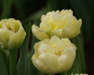 tulipa-verona-teltviragu-tulipan