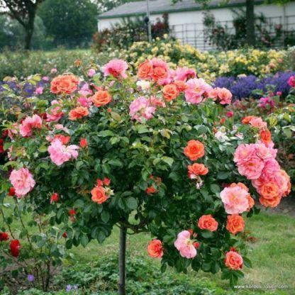 Aprikola ágyás rózsa