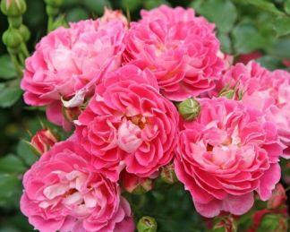 Charmant floribunda ágyás rózsa
