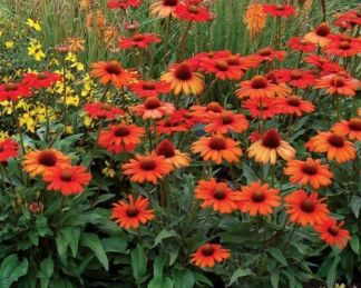 Echinacea-Kismet-Intense-Orange