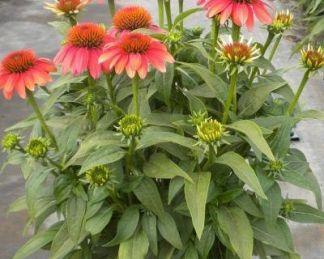 Echinacea-orange-red
