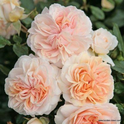 Garden_of_Roses ágyás rózsa