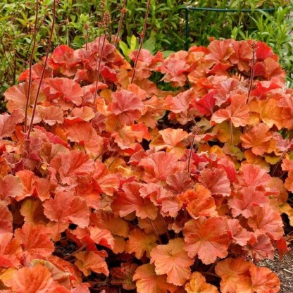 Heuchera-Northern-Exposure-Amber