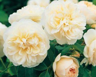 Lichfield_Angel angol rózsa