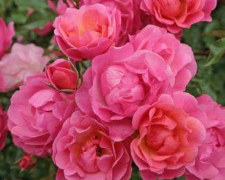 Maxi_Vita floribunda ágyás rózsa