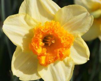 Narcissus-bulley-nagyviragu-narcisz