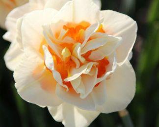 Narcissus-double-flower-parade-duplaviragu-narcisz