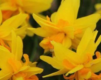 Narcissus-double-itzim-duplaviragu-narcisz2