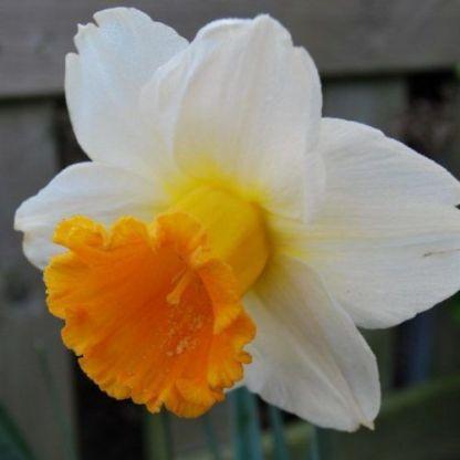 Narcissus-orange-sunset-trombitaviragu-narcisz