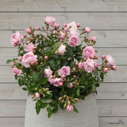 Nautica®  - ágyás rózsa 1 Lágy levendula színű floribunda ágyás rózsa, fürtökben virágzó. ADR minősített, díjnyertes, ellenálló fajta. Konténerbe is alkalmas.  <em>Kiszerelés: szabadgyökerű, A minőség</em>