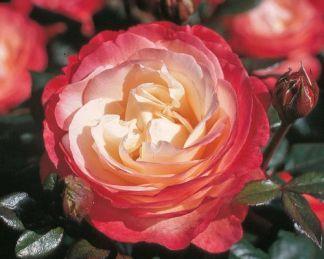 Nostalgie teahibrid rózsa