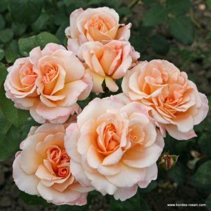Oh_Happy_Day teahibrid rózsa