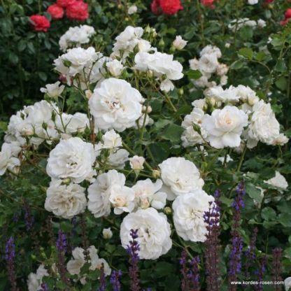 Petticoat floribunda bokorrózsa