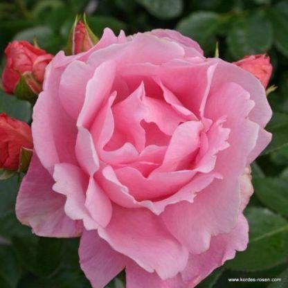 Poetry floribunda ágyás rózsa