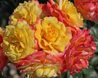Rose_der_Hoffnung floribunda bokorrózsa