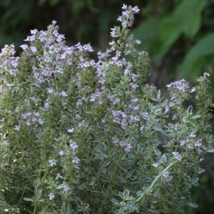 Thymus x citriodorus 'Silver Posie' – citromillatú kakukkfű 2