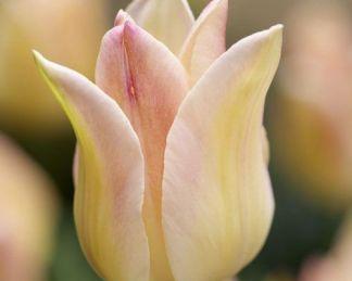 Tulipa Elegant Lady liliomvirágú tulipán