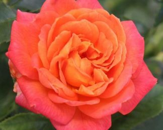 Vulcano teahibrid rózsa