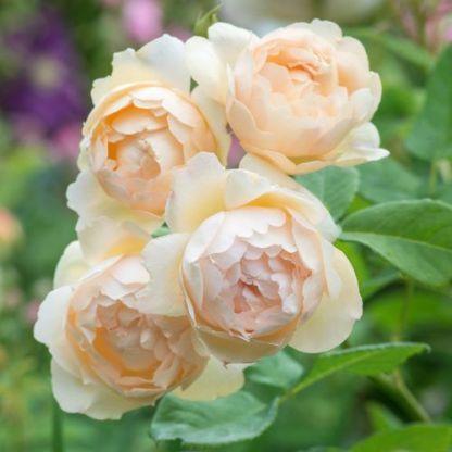 Wollerton Old Hall - David Austin angol rózsa