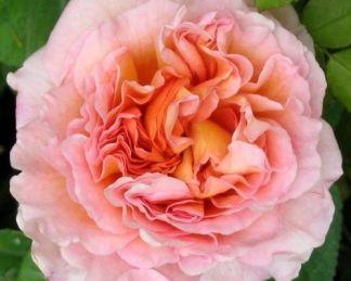 abraham-darby david austin rózsa