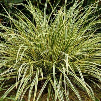 carex-oshimensis-maxigold-madarlabu-sas