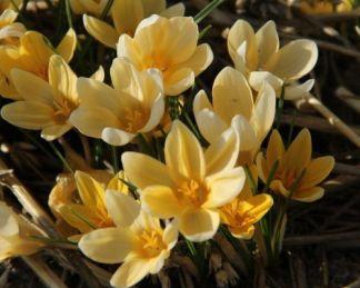 crocus-chrysanthus-romance-krokusz