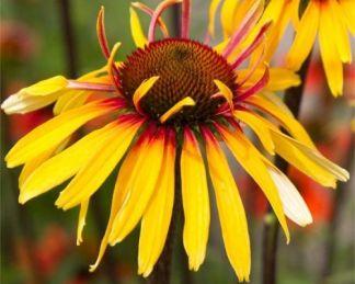 echinacea-purpurea-funky yellow-kasvirag