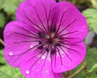 geranium-pink-penny-golyaorr