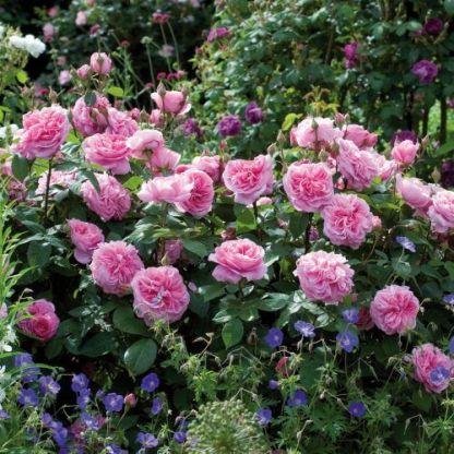 gertrude_jekyll david austin rose