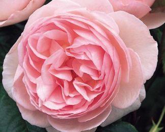 heritage david austin angol rózsa