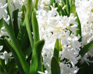 hyacinthus-aiolos-egyszeru-viragu-jacint