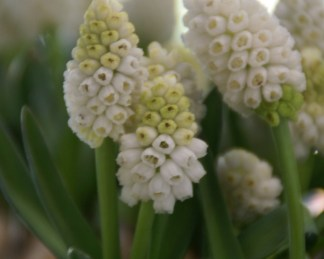 muscari-aucheri-white-magic-gyöngyike