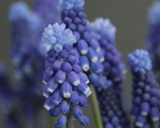 muscari-botryoides-superstar-epergyöngyike