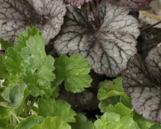Heuchera 'Northern Exposure Silver' – tűzgyöngyvirág és Heuchera sanguinea 'Firefly' – tűzgyöngyvirág párosítás