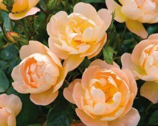 the_lark_ascending angol rózsa