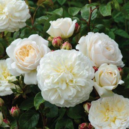 tranquillity angol rózsa