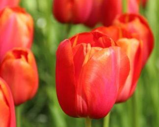 Tulipa Avignon - Triumph tulipán