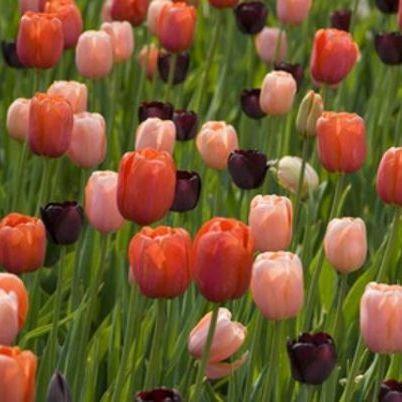 Tulipa Avignon, Menton, Queen of the Night - Triumph tulipán válogatás
