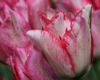 Tulipa 'Beautytrend' Triumph tulipán