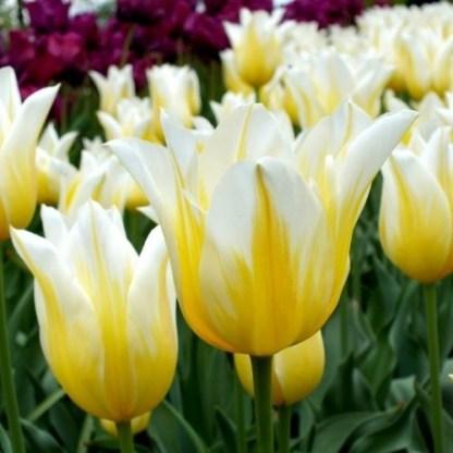 Tulipa Budlight liliomvirágú tulipán