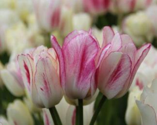 Tulipa 'Candy Club' - sokvirágú tulipán